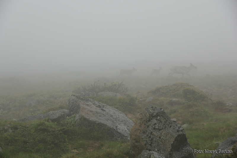 Renifery spotkane w chmurach