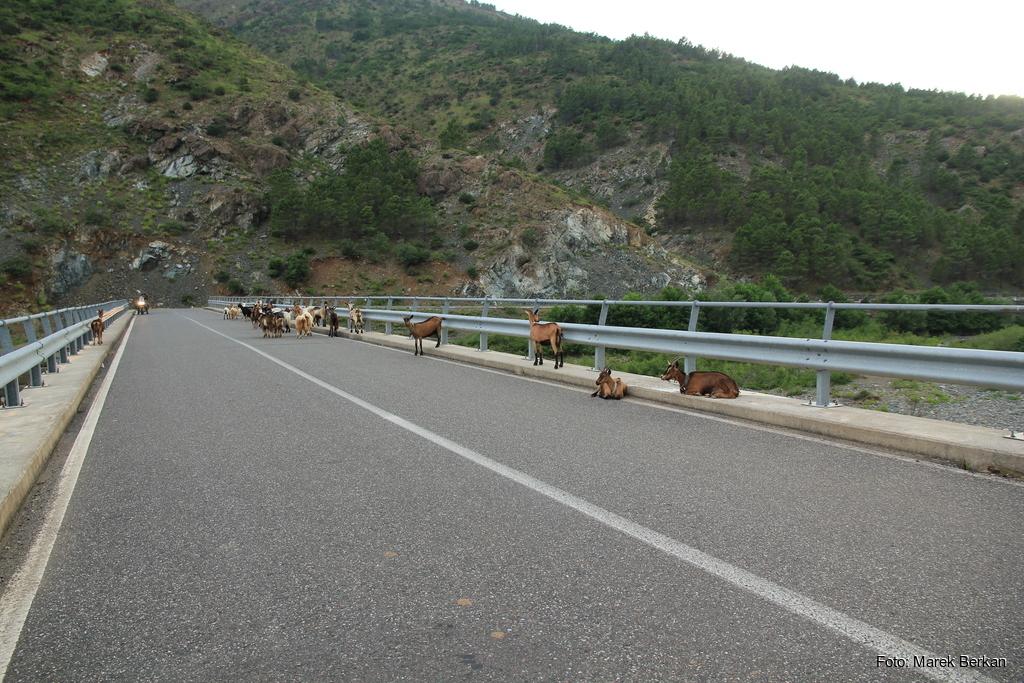 Droga SH25 - zwierzęta na drodze